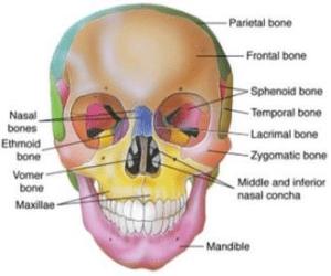 استخوان چهره