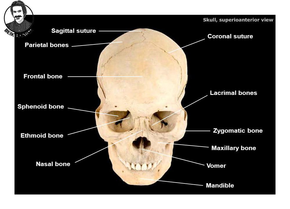 استخوان بندی سر ؛ صورت